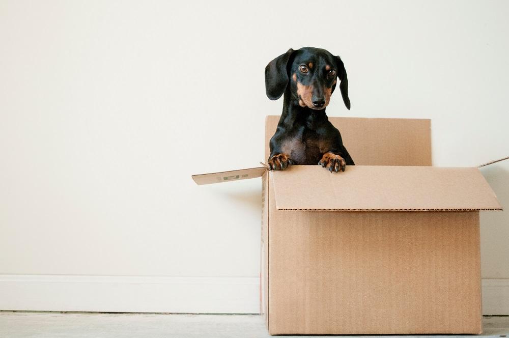A black dachshund dog inside a brown box
